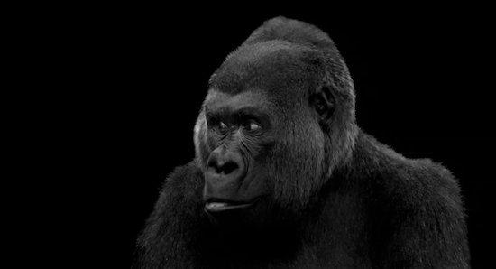 visitor-gorilla